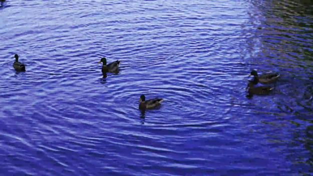 ducks take off 3840x2160 420 8 30 500.y4m nvenc ll 8M.H264 0 3840x2160 decoded